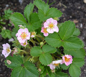 Bush de la fresa salvaje remontantny floreciente (MOS de la Fragaria Imagen de archivo