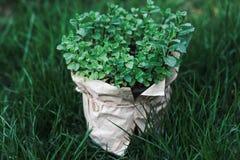 Bush de la menta en pote, crecido en casa en un pote en la hierba verde Foto de archivo