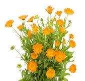 Bush de las flores del Calendula Fotos de archivo