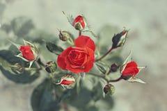 Bush de las rosas rojas plantadas en la tierra efecto del estilo del vintage Fotografía de archivo