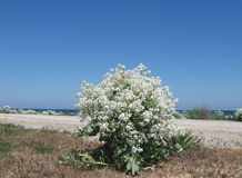 Bush de lat de Pontian de chiens de mer épineux Pontica de crambe Photographie stock