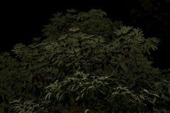 Bush-de Nachtscène van de Bladeren Grote Boom, Bladeren, Boom, Bos op zwarte achtergrondnachtdark stock afbeelding