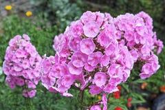 Bush de phlox brillamment rose Photo libre de droits