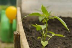 Bush de poivron doux sur un lit de jardin en serre chaude Photos libres de droits