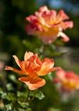 Bush de rosas amarelas Fotos de Stock Royalty Free