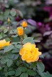 Bush de rosas amarelas do jardim Fotografia de Stock