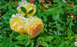 Bush de rosas amarillas hermosas en la floración Fotos de archivo libres de regalías
