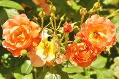 Bush de rosas anaranjadas frescas Fotos de archivo libres de regalías