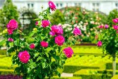 Bush de rosas bonitas em um jardim Fotografia de Stock Royalty Free