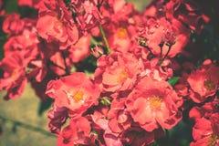 Bush de rosas hermosas en un jardín Fotografía de archivo