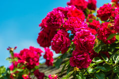Bush de rosas hermosas en un jardín Imágenes de archivo libres de regalías