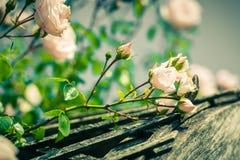 Bush de rosas hermosas en un jardín Foto de archivo libre de regalías