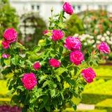Bush de rosas hermosas en un jardín Imagenes de archivo