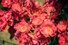Bush de rosas hermosas en un jardín Foto de archivo