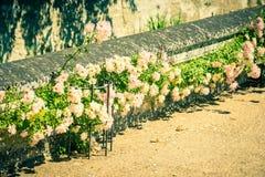 Bush de rosas hermosas en un jardín Fotografía de archivo libre de regalías
