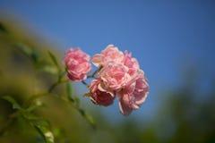 Bush de rosas rojas Fotos de archivo libres de regalías