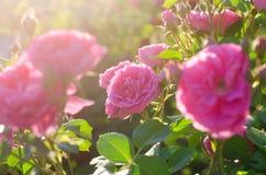 Bush de rosas rosadas Imágenes de archivo libres de regalías