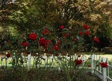 Bush de rosas vermelhas em um parque fotografia de stock royalty free