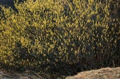 Bush de saule par une journée de printemps sombre Photos libres de droits