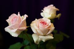 Bush de trois roses roses photo libre de droits