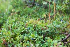 Bush de um mirtilo maduro Imagens de Stock