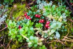 Bush de uma airela madura na floresta Foto de Stock