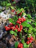 Bush de uma airela madura na floresta Imagens de Stock