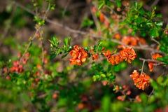 Bush de una grosella espinosa floreciente Fotografía de archivo libre de regalías