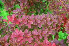Bush decorative barberry Stock Image