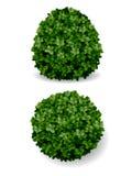 Bush decorative boxwood Royalty Free Stock Image