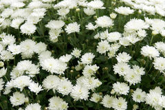 Bush dei fiori bianchi luminosi immagini stock