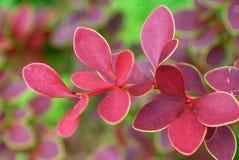 Bush dekorativ barberry Royaltyfri Fotografi