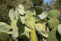 Bush del cacto tzabar, o pera espinosa (Opuntia fi Imagen de archivo