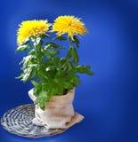 Bush del crisantemo amarillo en un fondo azul marino Imagen de archivo libre de regalías