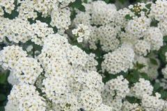 Bush del espino floreciente en el verano Foto de archivo libre de regalías