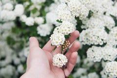 Bush del espino floreciente en el verano Fotografía de archivo libre de regalías