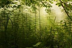 Bush del horsetail Fotografia Stock