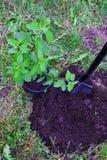 Bush del paniculata dell'ortensia Fotografia Stock