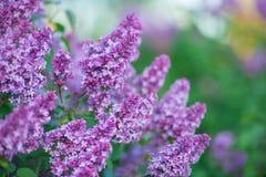 Bush del wonderfull del olor delicioso florece por completo color púrpura y azul de la lila fotos de archivo libres de regalías