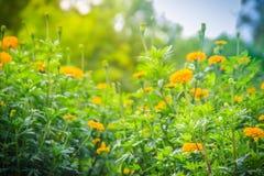 Bush dell'albero del tagete che cresce con i fiori gialli nell'ONU dell'azienda agricola Fotografia Stock Libera da Diritti