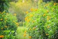 Bush dell'albero del tagete che cresce con i fiori gialli nell'ONU dell'azienda agricola Immagini Stock Libere da Diritti