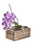 Bush dell'orchidea di phalaenopsis in scatola decorativa Immagine Stock Libera da Diritti
