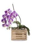 Bush dell'orchidea di phalaenopsis in scatola decorativa Fotografia Stock Libera da Diritti