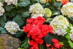 Bush della begonia rossa e bianca Immagini Stock