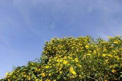 Bush della fioritura selvaggia del girasole nella scena gialla e variopinta in Lat del Da, Vietnam immagini stock libere da diritti