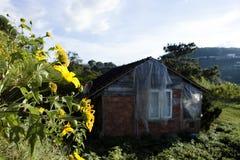 Bush della fioritura selvaggia del girasole nella scena gialla e variopinta in Lat del Da, Vietnam fotografia stock libera da diritti