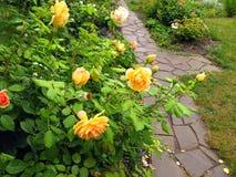 Bush della rosa di giallo con le gocce di acqua dopo pioggia accanto a garde Immagine Stock