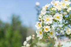 Bush delle rose bianche su un fondo di cielo blu Fondo floreale con spazio per testo Belle rose bianche Fotografie Stock Libere da Diritti