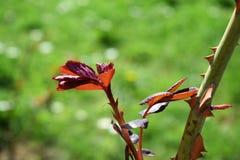 Bush delle rose in giardino Fotografia Stock