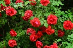 Bush delle rose rosse luminose contro le foglie scure Immagine Stock